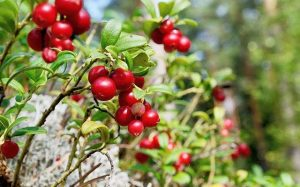 67658216_DDGT4N_close-up_berry_cranberries_and_moss_in_the_forest-large_trans++x9U5Y90jTtz1n8G9lx71dT7qDM1k-FXUpc9UWB6g6Ho