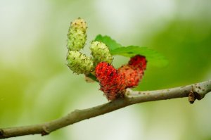 mulberries_red_fruit_berry_mulberry_sweet_fre.height-400