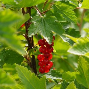 redcurrant-166372.height-400
