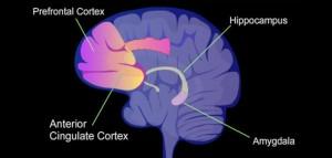 hippocampus-prefrontal-cortex-amygdala-anterior-cingulate-cortex-by-nimh-702x336