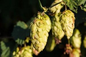 hops-health
