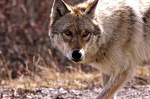 wolf-9448341280